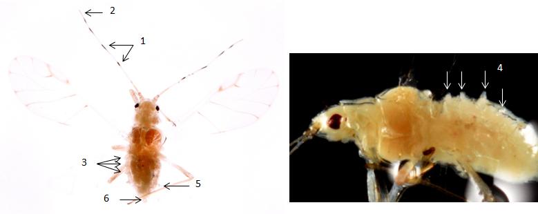 Tuberculatus borealis : fiche d'identification