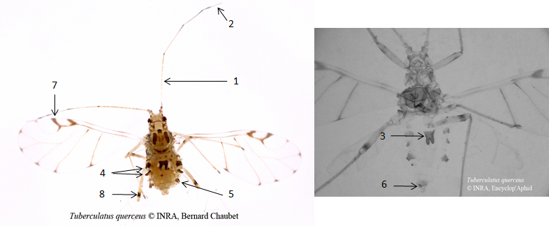 Tuberculatus quercus : fiche d'identification