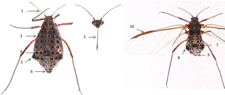 Tuberolachnus salignus : fiche d'identification