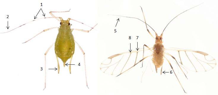 Wahlgreniella nervata : fiche d'identification