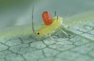 Allothrombium fuliginosum sur une larve de Wahlgreniella