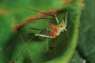 Allothrombium fuliginosum