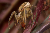 Araneae : Xysticus cristalus