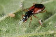 Anchonemus dorsalis : adulte