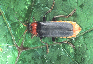 Cantharis fusca : adulte