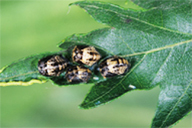 Adalia bipunctata : nymphe