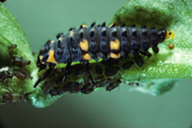 Coccinella septempunctata : larve