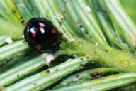 Exochomus quadripustulatus : adulte
