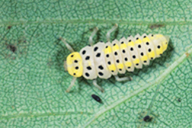 Halizia cedecimguttata : larve