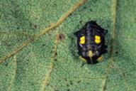 Halizia cedecimguttata : nymphe