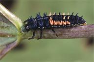 Harmonia axyridis : larve