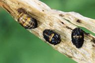 Hippodamia variegata : nymphe