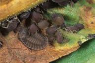 Platynaspis luteorubra : larve