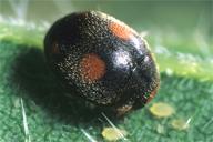 Platynaspis luteorubra : adulte