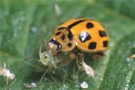 Propylea quatuordecimpunctata : adulte