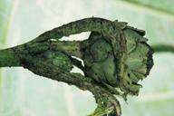 Aphis fabae, dégât sur artichaut