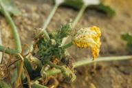 Aphis gossypii, dégât sur courgette
