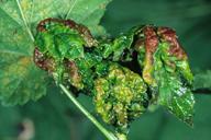 Cryptomyzus ribis : dégât sur feuille de groseillier
