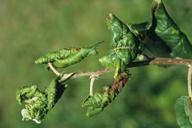 Dysaphis plantaginea : dégât sur pommier