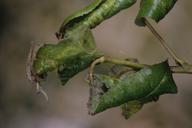 Dysaphis pyri : dégât sur poirier