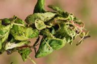 Melanaphis pyraria : dégât sur poirier
