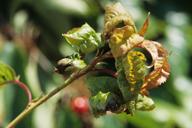 Myzus cerasi : dégât sur cerisier