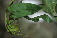 Myzus persicae : dégât sur nectarinier