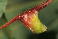 Pemphigus bursarius : galle en forme de bourse sur peuplier