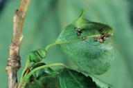 Pemphigus spirothecae : pétiole spiralé sur feuille de peuplier