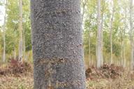 Phloeomyzus passerinii : fumagine