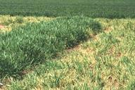 Rhopalosiphum padi : virus BYDV
