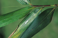 Takecallis arundicolens : miellat sur feuille de bambou