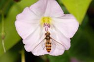 Episyrphus balteatus : adulte