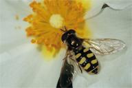 Eupeodes corollae : adulte