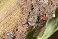Fannia manicata prospectant une colonie de Tuberolachnus salignus