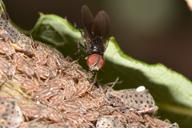 La mouche Fannia sur une colonie de Tuberolachnus salignus