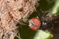 Fannia manicata absorbe la goutte de miellat