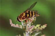 Syrphus ribesii : ponte de l'adulte dans une colonie d'Aphis urtica
