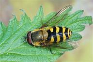 Syrphus ribesii : adulte