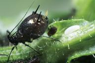 oeuf de Syrphe à coté d'une colonie de pucerons