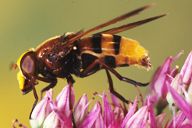 Volucella sp : adulte
