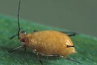 Erynia neoaphidis sur Sitobion avenae