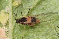 Hyperomyzus lampsanae : adulte ailé mycosé
