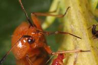 Deraeocoris ruber et Uroleucon tanaceti