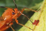 Deraeocoris ruber transperçant Uroleucon tanaceti