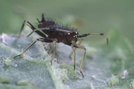 Miridae : larve