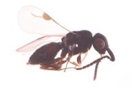 Dendrocerus sp H-v
