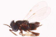 Syrphophagus sp : habitus