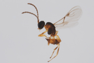 Adialytus salicaphis : adulte