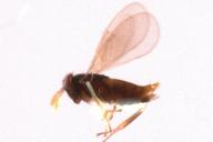 Aphelinus sp : habitus